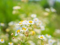 夏季户外盛开的白色一年蓬