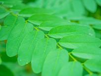 夏季绿色的槐树叶