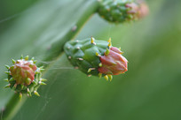 仙人掌花蕊