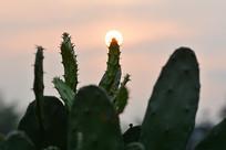 夕阳下的仙人掌