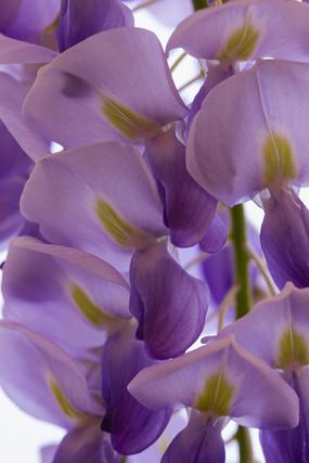 紫藤花瓣特写