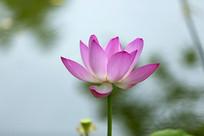 粉色荷花花瓣