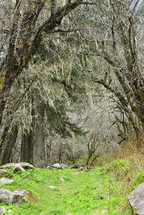 高原森林西南樱及松毛树挂
