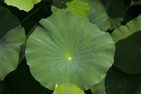 绿色的圆形荷叶