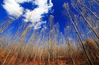 深秋树林仰拍