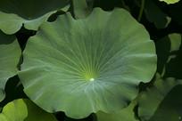 圆形的绿色荷叶