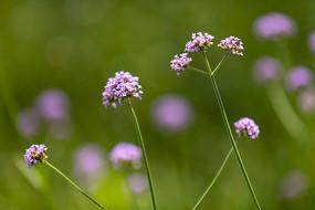 紫色小花马鞭草
