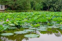 池塘里的荷叶