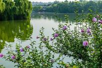 大明湖好风光