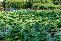 济南大明湖荷塘