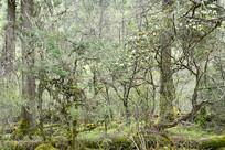 青藏高原原始灌木丛林