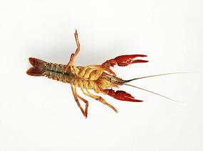 特写小龙虾背部