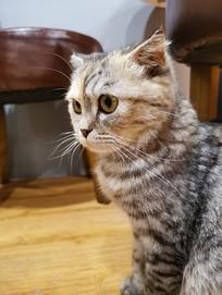 大眼睛的美国短毛猫