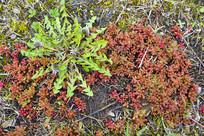 法兰克福野生的多肉植物