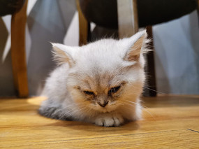 睡眼朦胧的美短银渐层小猫
