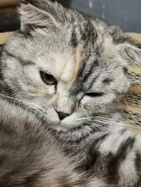 睡眼朦胧的美国短毛猫