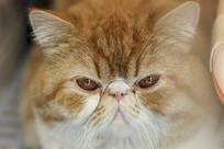 波斯猫大黄