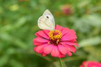 白色的蝴蝶与红色的菊花