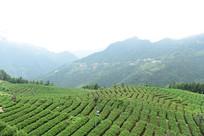 大山里的茶园茶叶