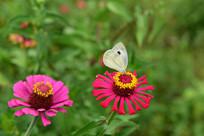 白色蝴蝶和百日菊花朵