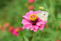菊花上面的白色蝴蝶