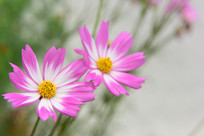 两朵漂亮的格桑花