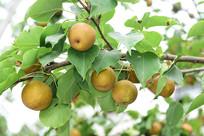 梨子树上的梨子