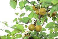 树上的梨子