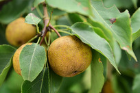 树上的梨子特写