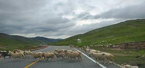 过马路的羊群