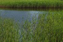 湖水中的芦苇