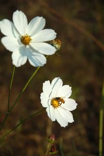 白色波斯菊