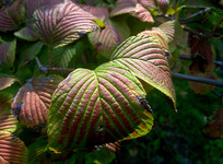 红绿相间的叶子