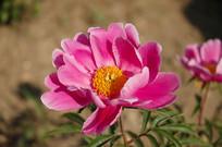 盛开的芍药花