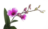 紫红色石霍花