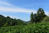 茶园里的茶树
