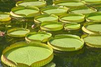 池塘中的霸王莲