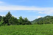 蓝天白云下的农村茶园