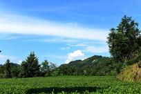 蓝天下的茶园