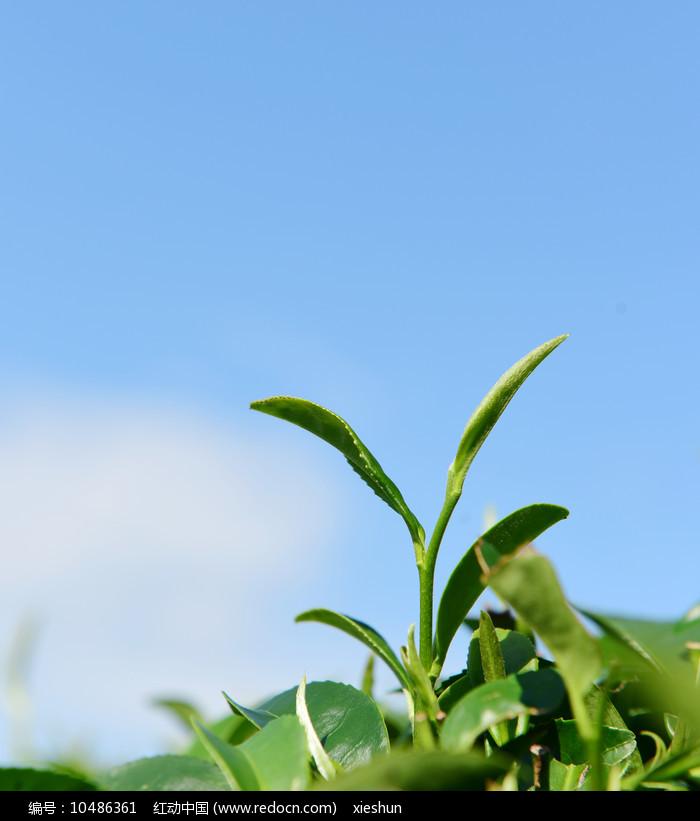 绿色背景下的芽茶图片