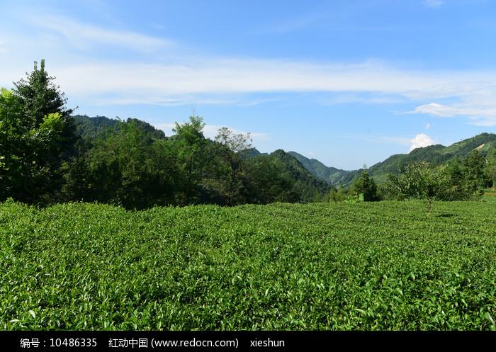 绿色茶园图片