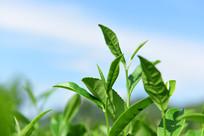 绿色的茶叶风景