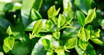 茂盛的茶叶