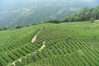 农村的茶山