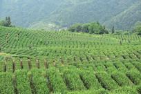 生长的茶树