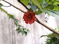 红色的构树果实