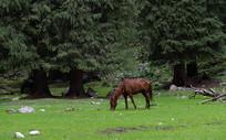 草场上的马
