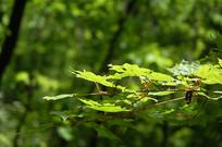 色木槭绿色树叶
