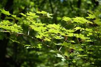 五角槭绿色叶子