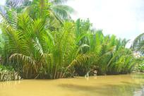 越南的水椰树